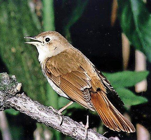 In diesem Frühjahr haben wieder mehr Nachtigallen gesungen. Doch langfristig geht der Bestand zurück.Foto: HAZ-Archiv