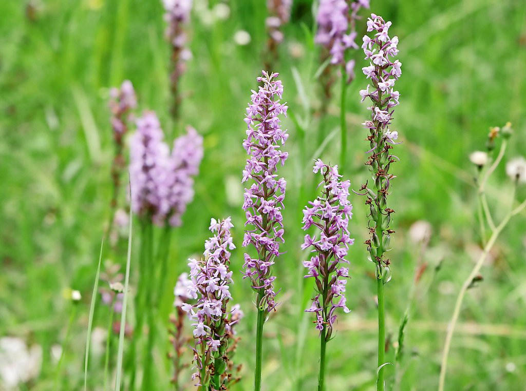 Die Mückenhändelwurz, eine streng geschützte heimische Orchidee, blüht auf den Lichtungen des Heberberges in üppigen Beständen.