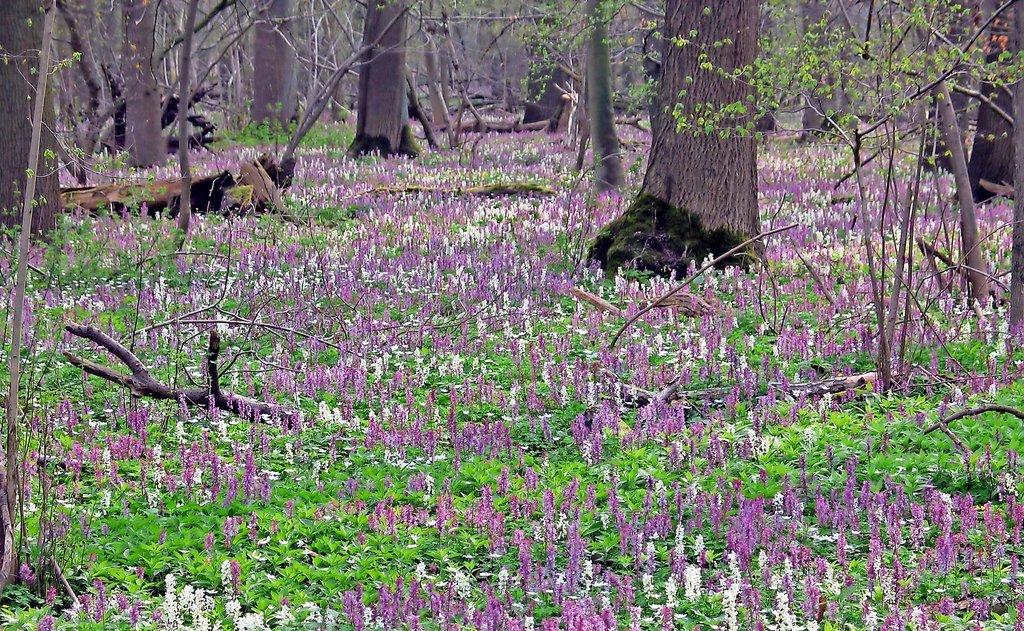 Eines der geschützten FFH-Gebiete im Raum Hildesheim ist der Haseder Busch, der im Frühjahr von einem Teppich von Hohlem Lerchensporn überzogen ist.Foto: Archiv