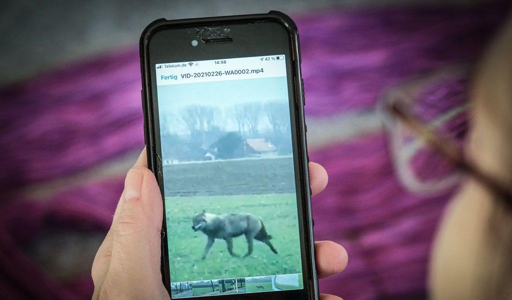 In den sozialen Netzwerken haben am Freitag zahlreiche Menschen mehrere Videos von einem Wolf geteilt, der durch den Landkreis zog.Foto: Chris Gossmann