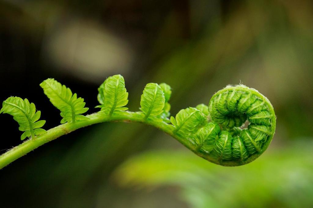 Ett särdrag hos ormbunken är knoppningen på våren. Bladet ligger ihoprullat i en hård snurra som kallas kräkla, döpt efter snarlikheten med biskopsstaven. (Bild: Isabelle OHara)