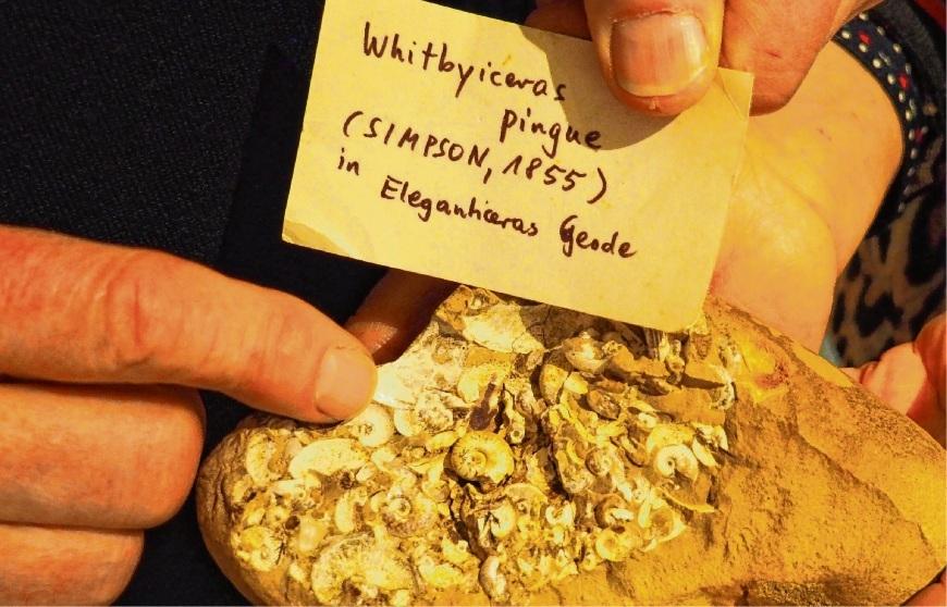 Der  Ammonit Whitbyceras pingue liegt ganz unscheinbar in der Mitte dieser aufgebrochenen Steinknolle. Susanne Rohde