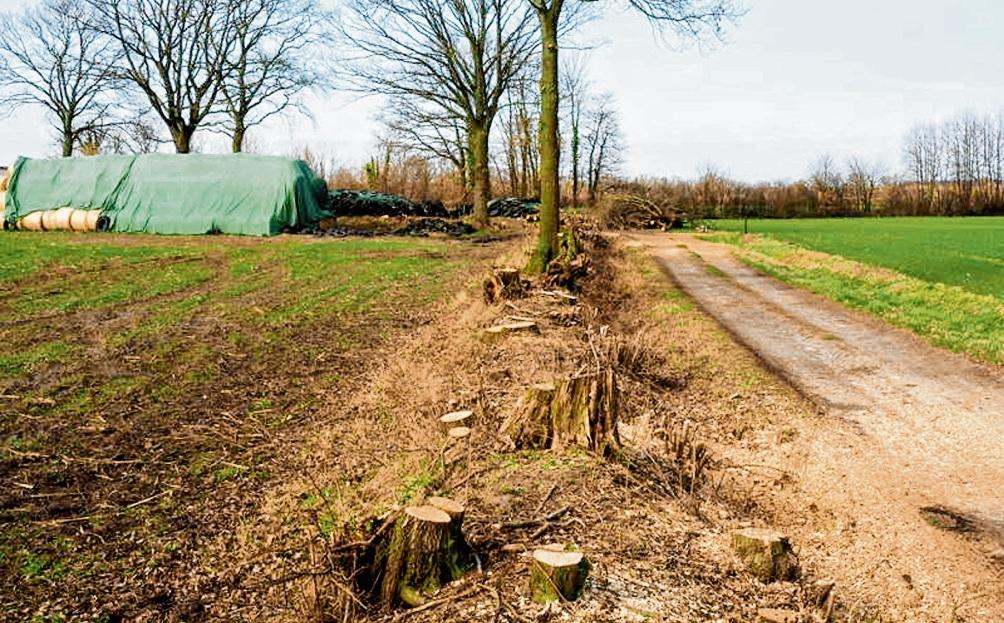 """Knicks sind typisch für unsere Landschaft in Schleswig-Holstein.  Die Bäume, die beim sogenannten Auf-den-Stock-setzen stehen gelassen werden, heißen """"Überhälter"""".AdobeStock"""