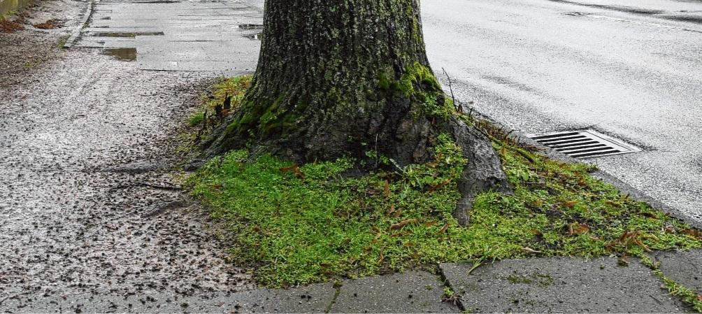 Die Wurzeln der  Bäume haben im Wolkenweher Weg zum Teil die Fußwege arg in Mitleidenschaft gezogen.Nie