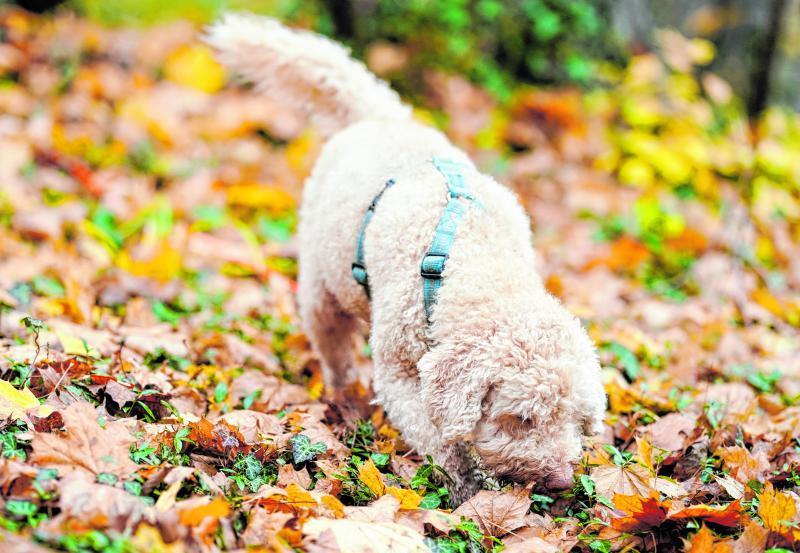 Mit seiner Nase kann Snoopy einiges erschnuppern. Deshalb soll er nun Bäumen helfen, die unter dem Klimawandel leiden.