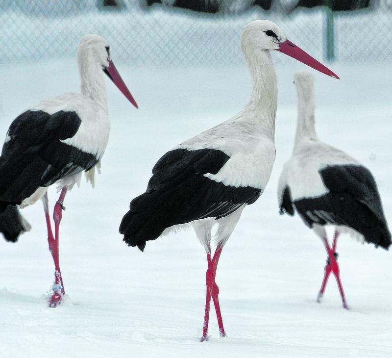 Kalte Füße bekommen Störche nicht – auch nicht im Schnee.