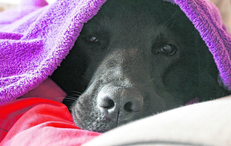 Hund Neville unter einer Decke. Tiere verstehen nicht, warum draußen plötzlich so ein Lärm ist, und bekommen schnell Angst.