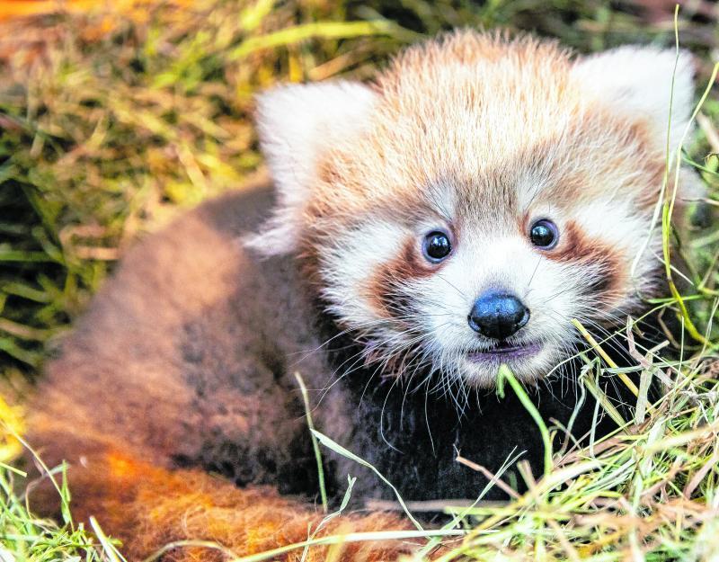 Der Rote Panda Loha lebt im Tierpark Berlin.