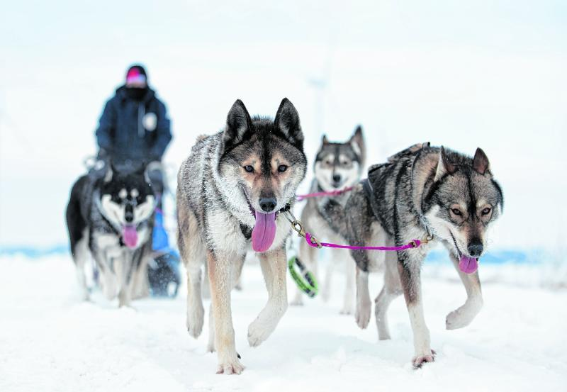 In diesem Winter kann Mirjam Seidl-Meyerrose ihre Schlittenhunde zu Hause trainieren.