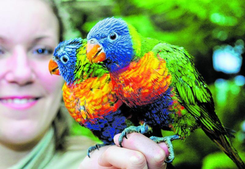 Sogenannte Loris, australische Papageien, sind ebenfalls Bewohner des Tierparks Bochum. Sie trinken am liebsten Blütennektar.