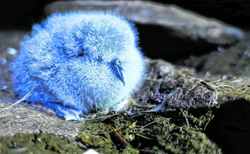 Dies ist ein Küken der Unterart des Kleinen Entensturmvogels.